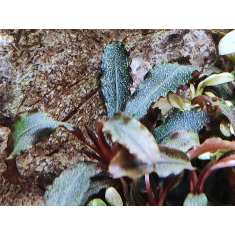 "Bucephalandra blue green ""in vitro"""