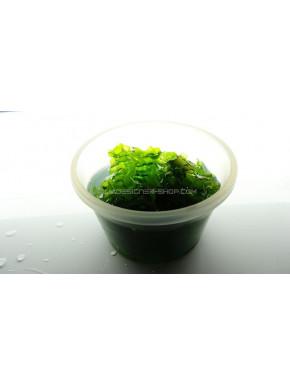 Round pelia lomariopsis lineata