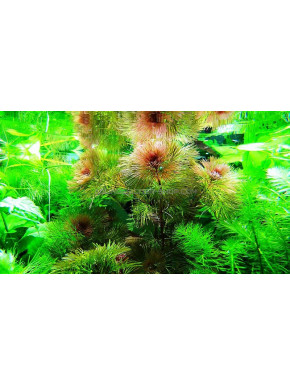 cabomba furcata plante aquarium rouge aquascaping aquadesigner. Black Bedroom Furniture Sets. Home Design Ideas