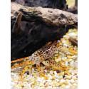Parathelphusa Pantherina : crabe Panther