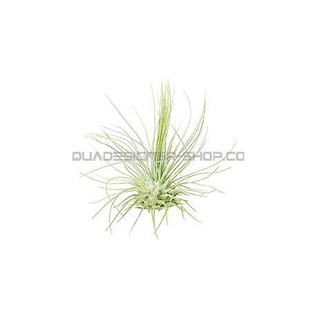 Tillandsia Fuchsii F.Gracilis