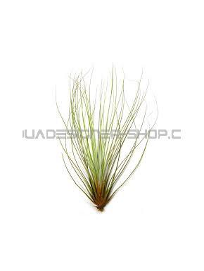 Tillandsia Juncifolia